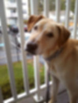 Sully, a medium tan dog with floppy ears, standing in front of a white railing.