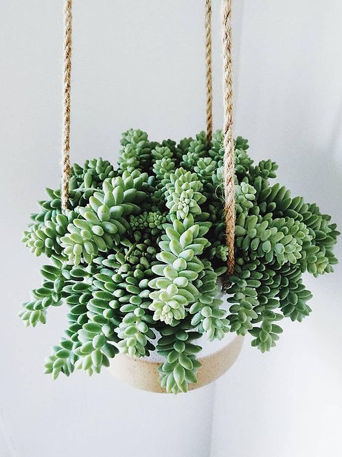 Burrows Tail Succulent Hanging Planter