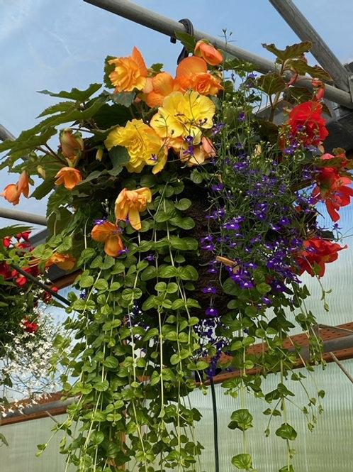 Golden/Orange Begonia