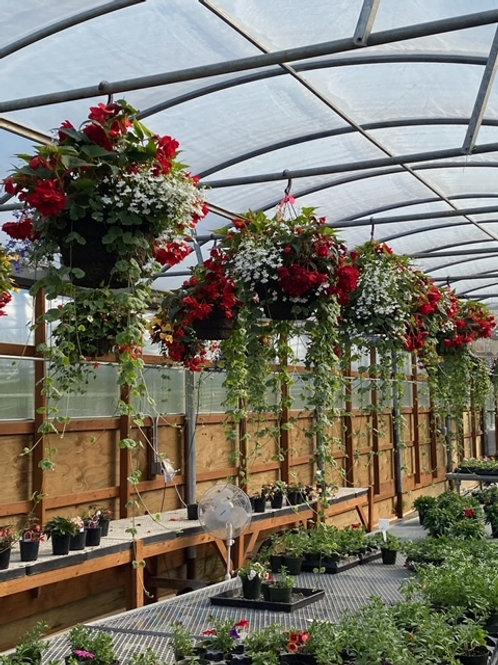 Red begonia/charlie