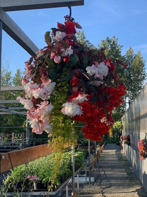Red/white Begonia