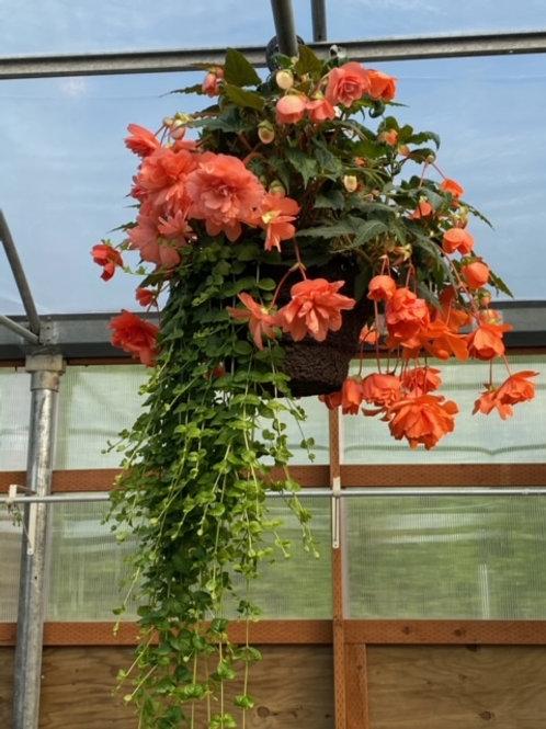 Pink Begonia/Jenny
