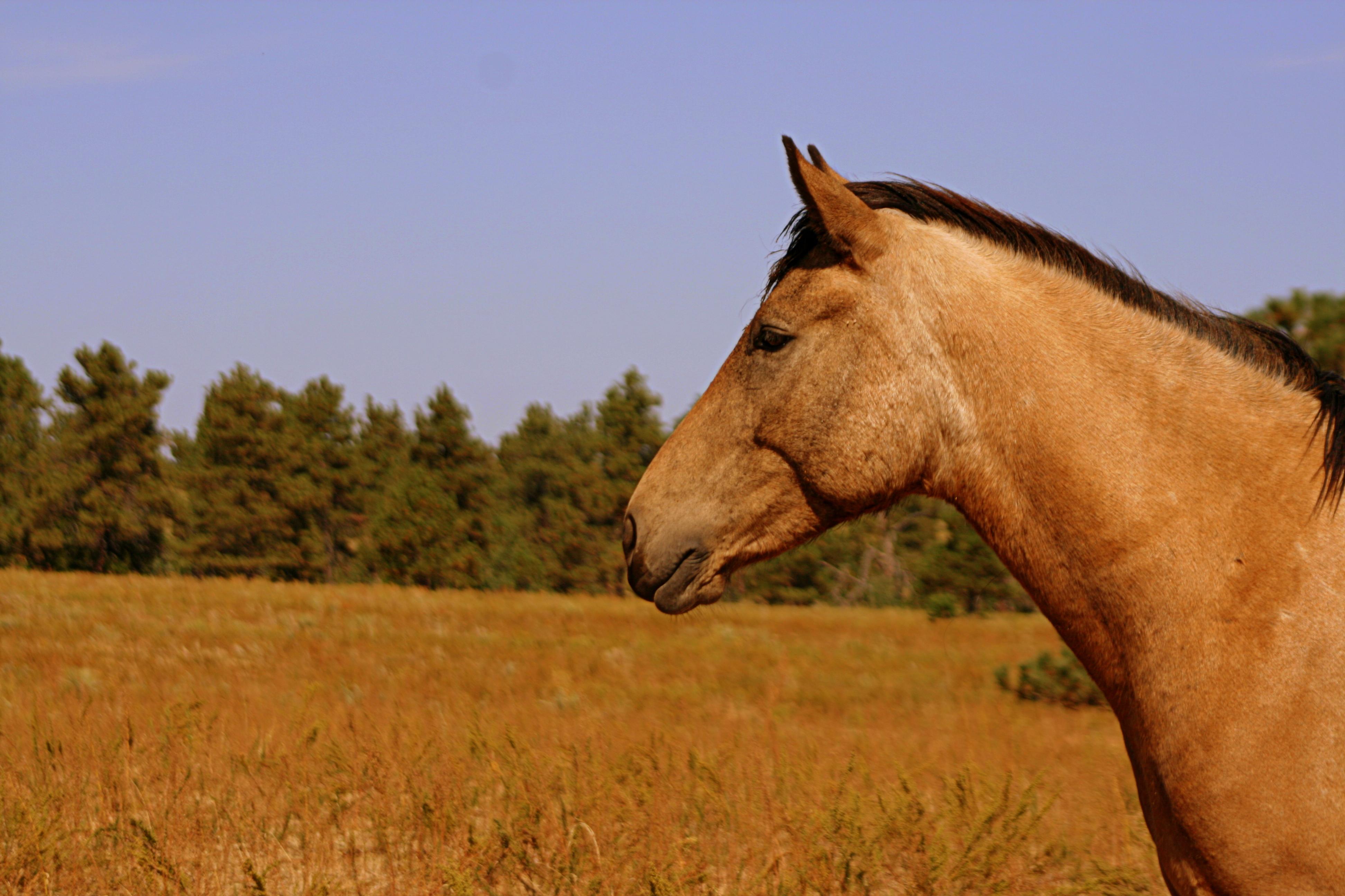 wildbuckskinhorse