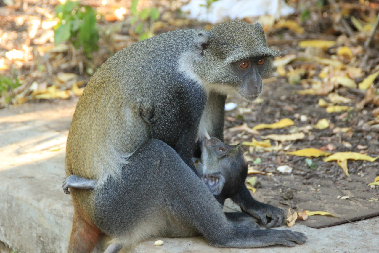 Monkeys in Watamu, Kenya