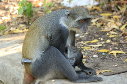 Monkeys in Watamu, Kenya