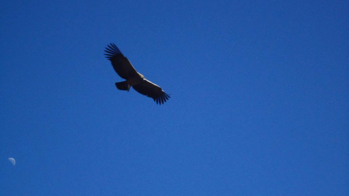 Condor at Colca Canyon, Peru
