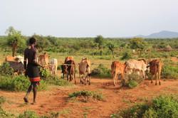 Walking Cattle
