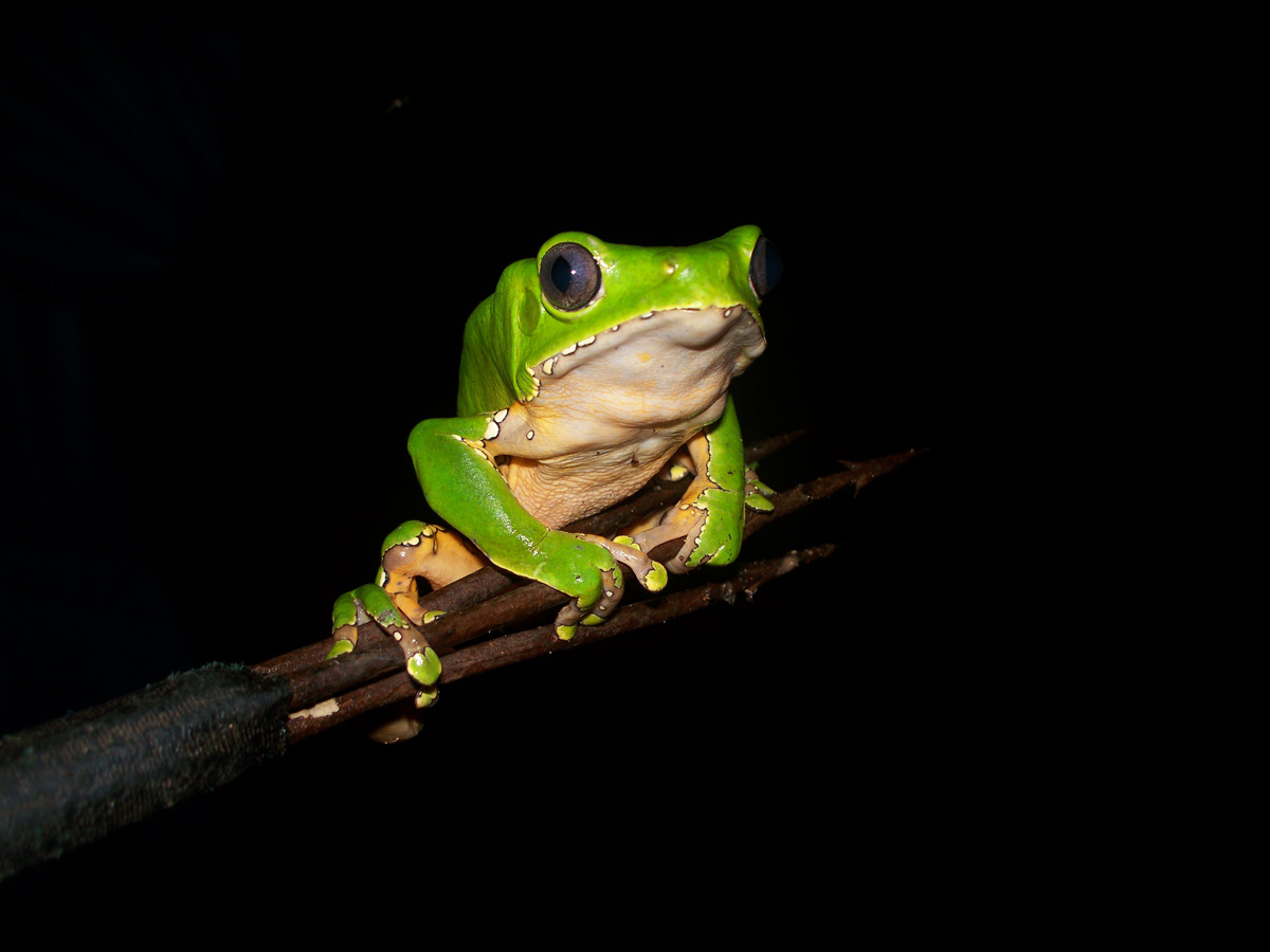 Bolivian Rainforest Frog