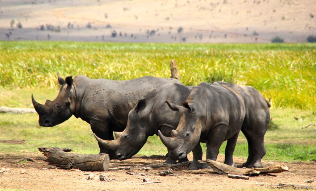 Rhinos at Lewa Conservancy