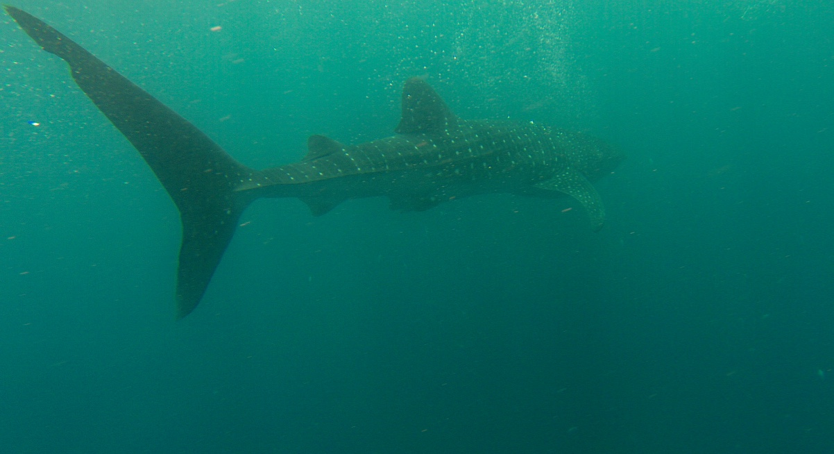 Whale Shark Swimming, Djibouti
