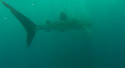 Whale Shark Swimming, Djibouti