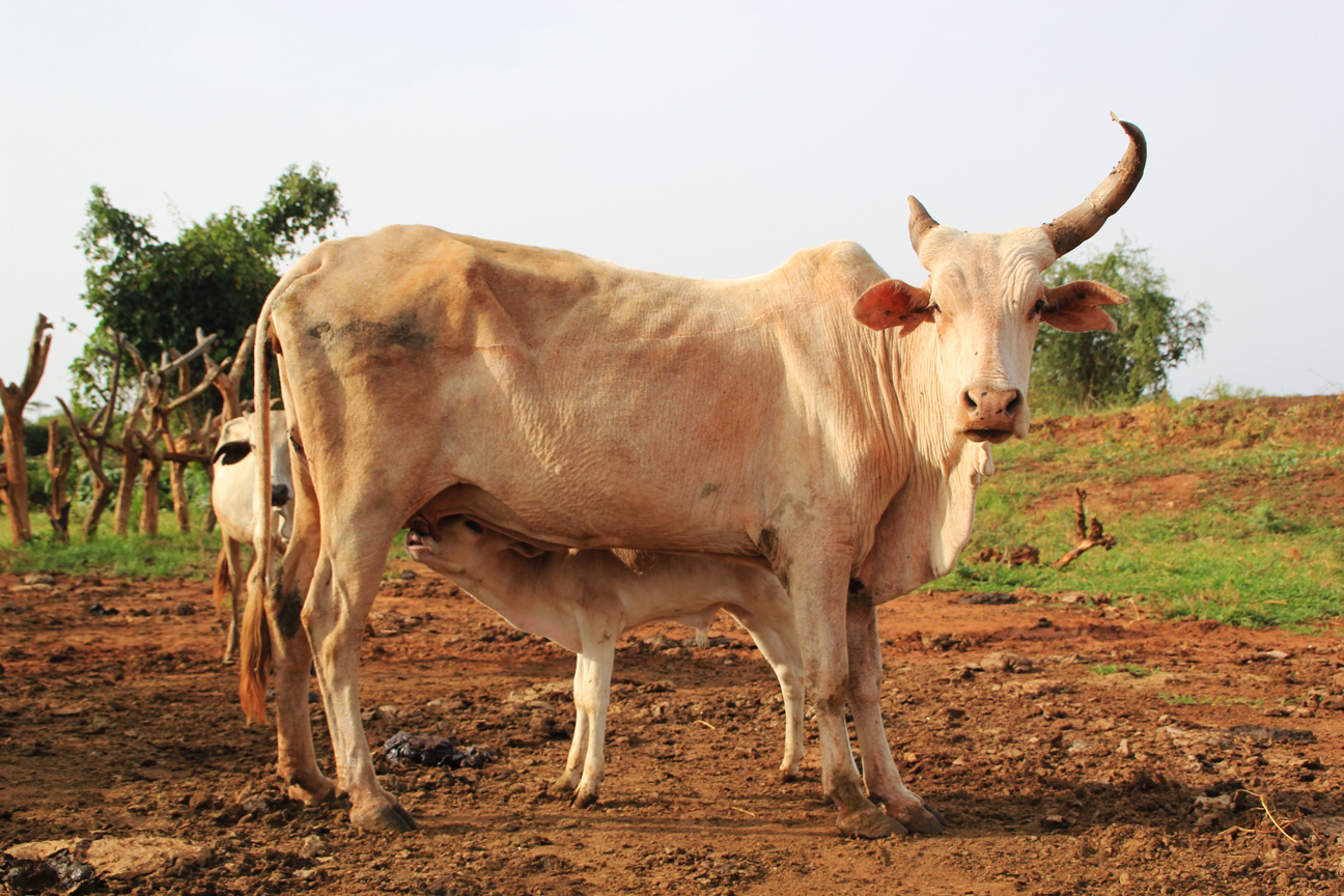 One Horned Cow