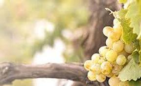 grape 1.jpeg