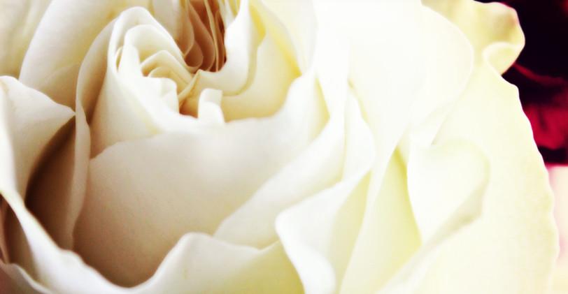 rose edited 3_wm.jpg
