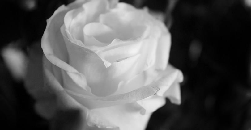 rose edited 1_wm.jpg