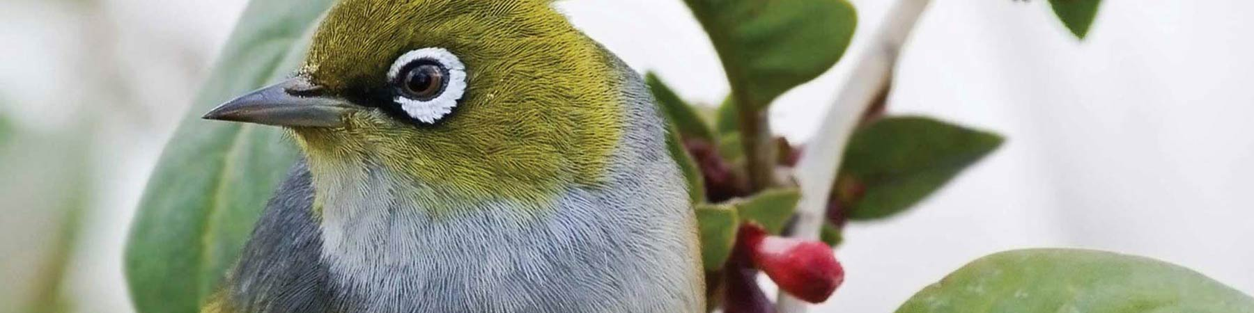 silvereye-bird-banner-3000