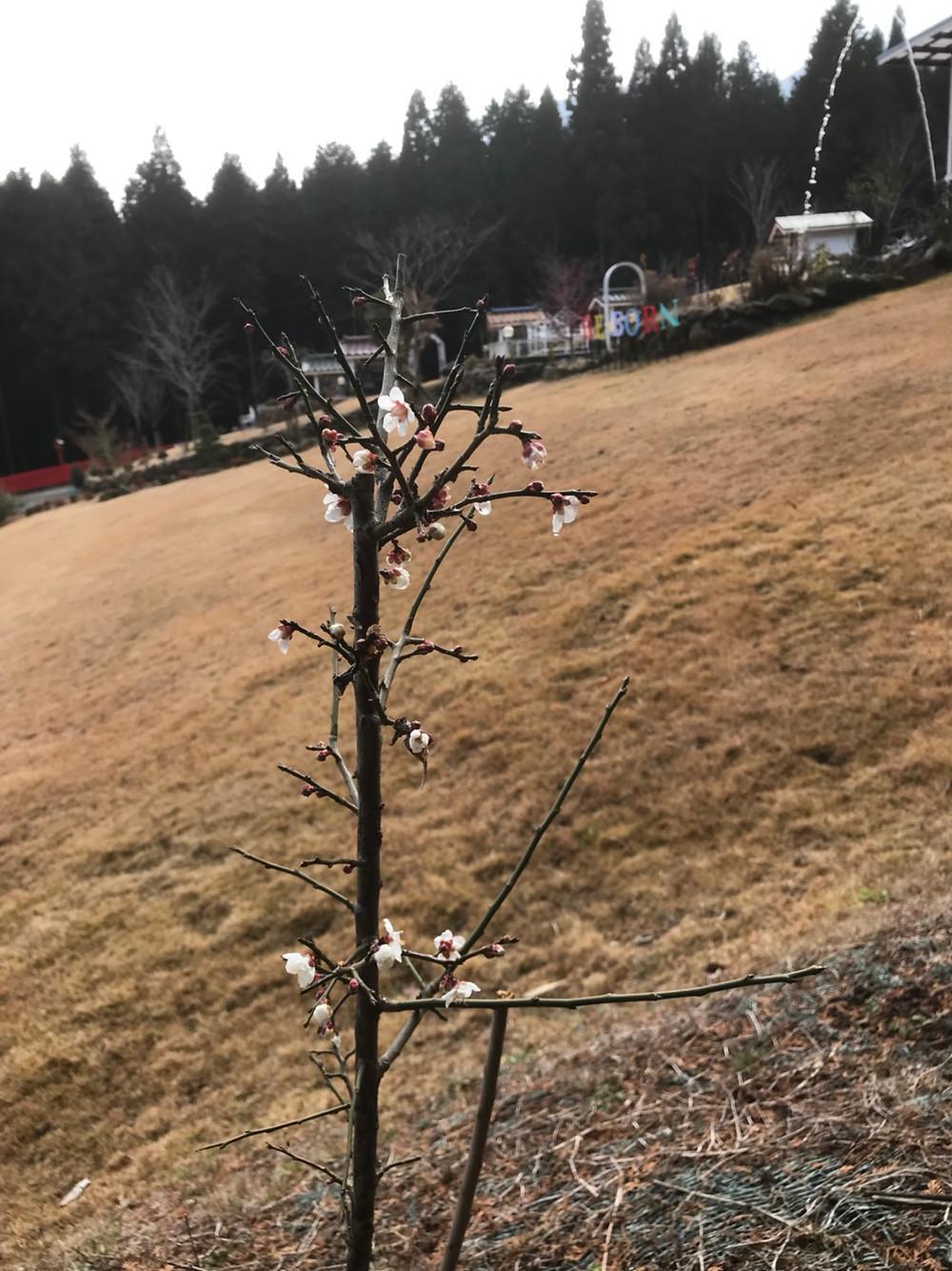 平成31年2月 未来樹の丘の梅の苗木が花をつけました