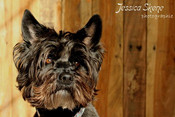 Hippi-que & Compagnons  Cosmo Terrier Photographie