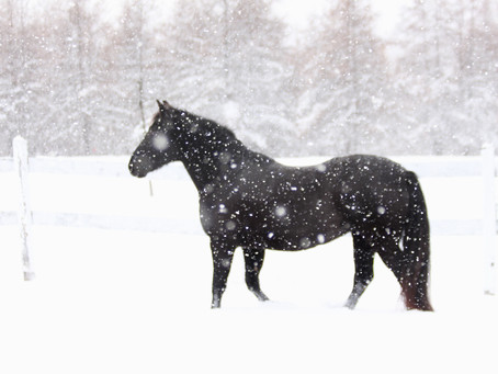 Les électrolytes et le sel, pourquoi sont-ils si important dans la nutrition du cheval