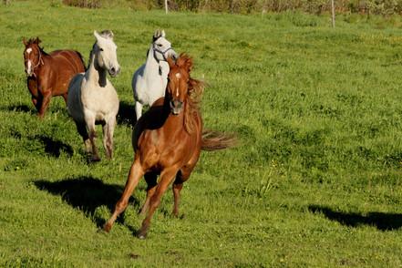Hippi-que & Compagnons Jessica Skene Photographie chevaux action