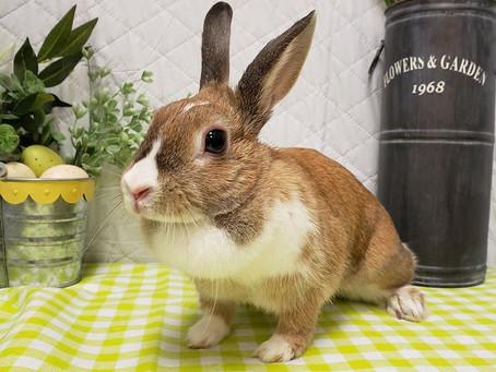Le lapin domestique