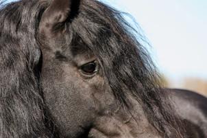 Hippi-que & Compagnons Jessica Skene Photographie cheval canadien oeil