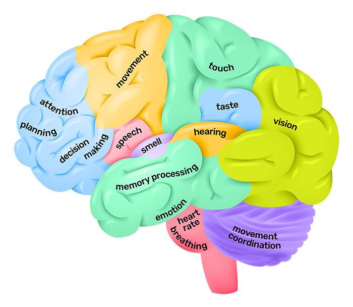 Lobes-of-the-brain-QBI.jpg