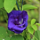 Thumbnail: BUTTERFLY PEA FLOWERS