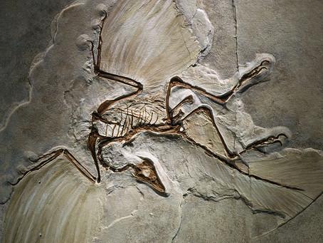 Ĉu la plej fama dinosaŭro kun plumoj el historio kapablis flugi?