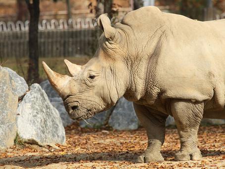 Mortis la lasta norda-blanka-rinocero, kaj kial tio gravas al vi?