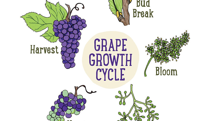 The Cycle Life of Vines