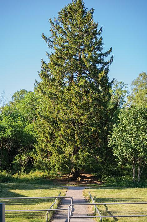 Norway Spruce