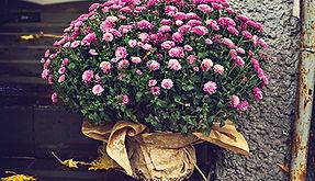 Chrysanthemums – the symbol of Autumn