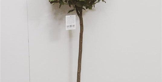 Laurus Nobilis Bay Tree 120cms