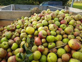 La Robeline Jersey Apples