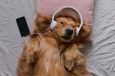 The Golden Retriever wearing headphones listening to music_edited.jpg