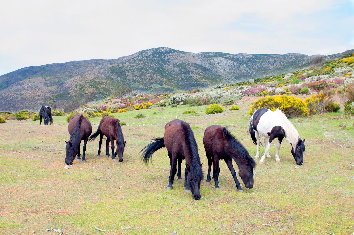 Wild Horses grazing in Spain