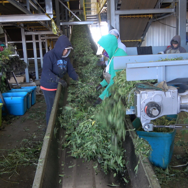 #19 conveyor Full Of Hemp.JPG