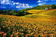 Daylilies .jpg