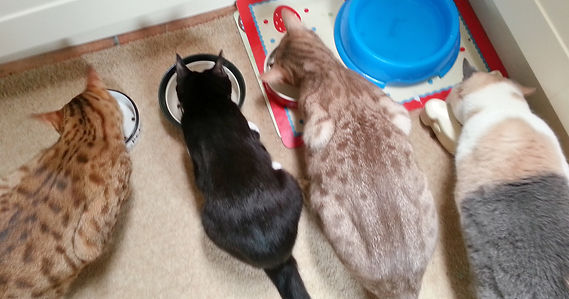Cats enjoying their tea on a home visits