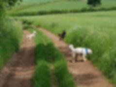 Bramham Pooch Patrol walking dogs in Thorner countryside
