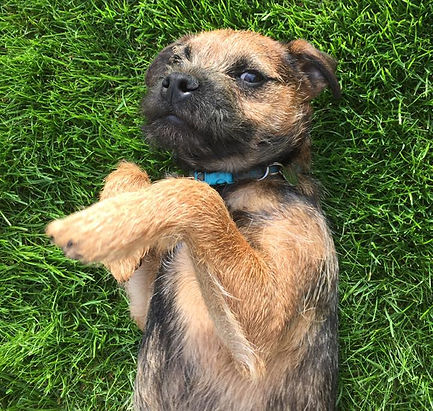 Border Terrier Puppy enjoying his visits!