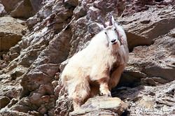 Chèvre des montagnes - Yoho, Canada