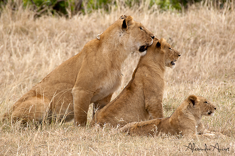 Lions - Kenya