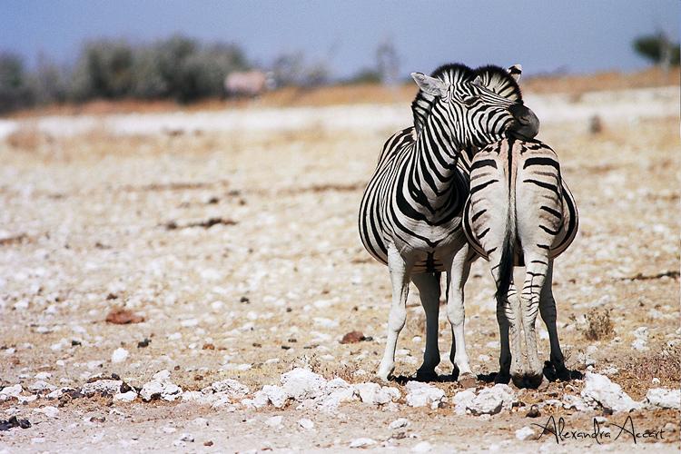 Zèbres - Namibie