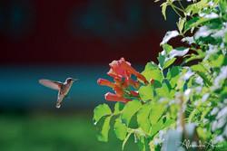 Colibri - Etats-Unis