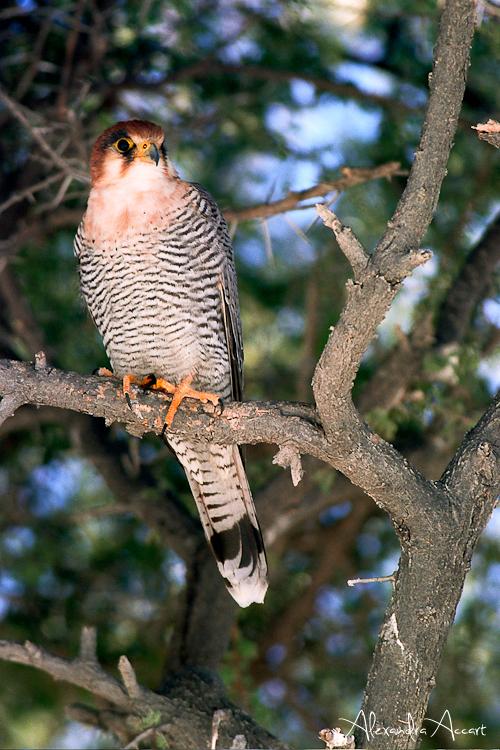 Faucon - Namibie
