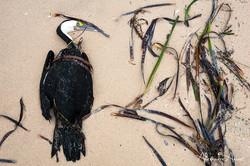 Cormoran varié - Australie