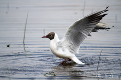 Mouette rieuse - Brenne