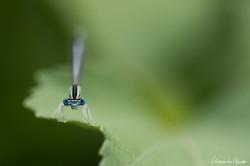 Penipatte bleuâtre
